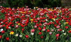 A Sea Of Tulips (davidwilliamreed) Tags: flowers plants nature tulips blossoms blooms atlantabotanicalgarden atlantaga