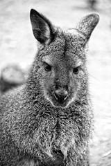 The Thoughts Of A Wallaby
