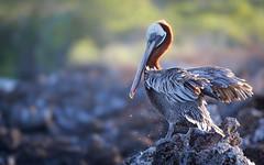20140714-BK2W6503-Edit-Edit (Swaranjeet) Tags: pelican pelicans galapagos ecuador bird largebirds july2014 canon fullframe 1dx eos1dx dslr sjs swaran swaranjeet swaranjeetsingh sjsvision sjsphotography swaranjeetphotography 2014 eos canoneos1dx 35mm ef pro 200400 canonef200400mm canonef200400mmf4lisusm14x singh photographer thane mumbai india indian