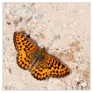 Speyeria Butterfly
