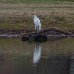 Great Egret (Dendroica cerulea) Tags: bird heron birds newjersey spring nj aves ardea highlandpark egret greategret ardeidae ardeaalba pelecaniformes middlesexcounty donaldsonpark