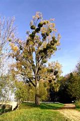 le vieux chêne épuisé par le gui (domiloui) Tags: france flickr arbres lorraine campagne plantes nuances documentaire feuillage cooliris abaucourt naturallive blinkagain