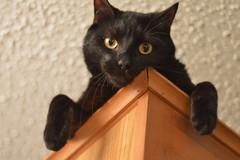 Creep (TaylorStarnes) Tags: pet pets black cat kitten feline mao meow creep
