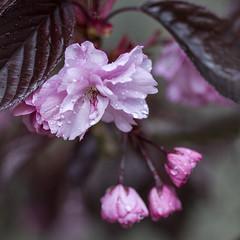 ... cherry blossom ... (jane64pics) Tags: pink flowers flower nature cherry flora blossom pinkflower cherryblossom naturalbeauty naturalworld floraandfauna gcc naturallife greystonescameraclub janefriel2016