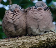 Cosy (Jimharding) Tags: cold insulation fluffy auckland resting streptopeliachinensis cosy devonport spotteddove birdsintroduced