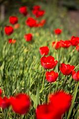 20160508IMG_7761_Aed (Enn Raav) Tags: flowers garden spring tulip bloom blooming aed tulp kevad lilled itsemine ied