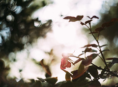 0L0A8244 (mprussell) Tags: light flower nature rose bokeh flare helios