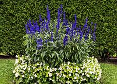 (ri Sa) Tags: flowers flower grass finland bed helsinki hedge