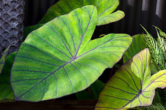 Blue Hawaii (bob_katt) Tags: blue abstract colour canon garden hawaii leaf outdoor vein taro eos500d