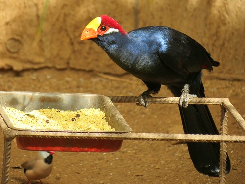 The violet turaco, also known as the violaceous plantain eater (Musophaga violacea),