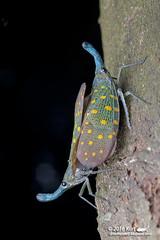 Pyrops whiteheadi_MG_0125 copy (Kurt (OrionHerpAdventure.com)) Tags: fulgorid lanternbug fulgoridae lanternfly pyrops pyropswhiteheadi