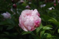 Peony (jsbuys) Tags: flower northcarolina peony sarahpdukegardens