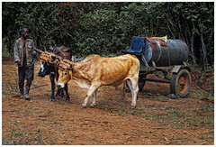 Transporter (kurtwolf303) Tags: man topf25 person topf50 500v20f ngc transport cuba transportation worker caribbean mann oxen 800views kuba omd arbeiter karibik 750views ochsenkarren 250v10f flickrelite unlimitedphotos micro43 microfourthirds olympusem5