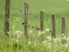 A Lot of Linnets (stevedewey2000) Tags: salisburyplain wiltshire birds linnet finch goldfinch fence fencepost wire barbedwire