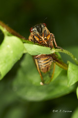 Cicada 4 (mjcarsonphoto) Tags: cuyahogavalleynationalpark periodicalcicada iraroadtrailhead