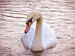 Kwek quack (dangdhut_core) Tags: lake bird nature animal swan beginner kolam danau angsa pemula
