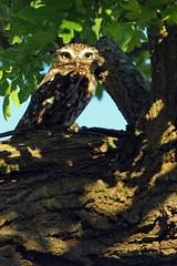 Little Owl (Ady G.) Tags: canon wildlife dorset owl birdofprey littleowl 1d4 500f4