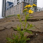 ragwort and tower block