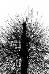 Polar Chaos (Rob Mintzes) Tags: trees tree nature silhouette contrast outside outdoors vines branch noiretblanc bare branches ngc vine pole negativespace negative telephonepole radial branching