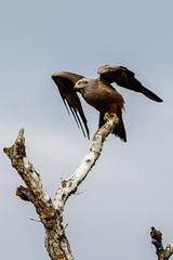 _F0A8622.jpg (Kico Lopez) Tags: birds rio spain aves galicia milvusmigrans lugo mio milanonegro