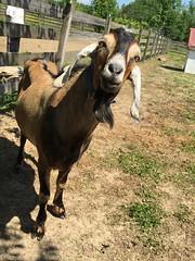 Morrison (ShanMcG213) Tags: farm goat goats buck morrison nubian farmlife nubiangoats dairygoat milkgoat