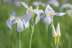FAMILY PORTRAIT (ajpscs) Tags: summer flower macro japan japanese tokyo nikon d750  nippon   familyportrait koiwa  edogawa  ayame   ajpscs    hanashoubu   koiwashoubuen iris simplyiris waytosummer