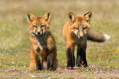 Red Fox Kits (Normsnature) Tags: nature nikon bc kits wa redfox nikond500 normanngphotography nikond800e