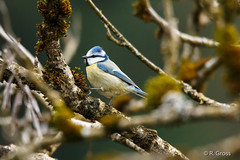 Blaumeise 6 (rgr_944) Tags: bird animals tiere outdoor natur animaux vgel oiseau vogel canoneos60dcanoneos70d rgr944
