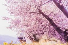 grand cherry (AZURE_TB) Tags: spring sony  cherryblossom sakura dollfiedream ilce7 sel55f18z dd