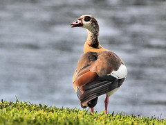 Egyptian Goose female HDR 20160523 (Kenneth Cole Schneider) Tags: florida miramar backyardbirds