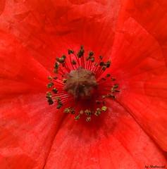 Poppy (Shahrazad26) Tags: red flower rot fleur rouge poppy blume rood klaproos bloem pavot mohn