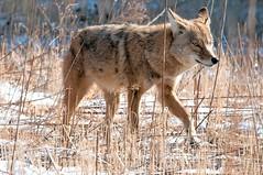 2016 Coyote 24 (Explored) (DrLensCap) Tags: coyote chicago robert animal mammal illinois il predator kramer