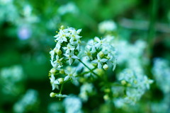 dreaming (nelescholten) Tags: light summer blur flower macro green nature dof pastel dreamy