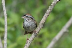 Swamp Sparrow, Monchy Road (frank.king2014) Tags: ca canada gander swampsparrow newfoundlandandlabrador