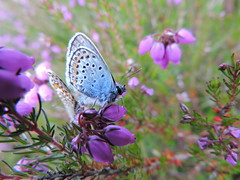 silver-studded blue (menchuela) Tags: menchuela insects butterflymoths silverstuddedblue plebejusargus