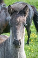 Icelandic Horses-5598 (Dante's Paparazzi) Tags: horses handheld apertureacademy iceland2016