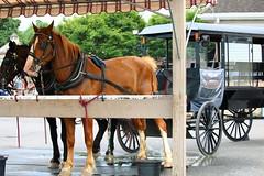 IMG_3806 (joyannmadd) Tags: amish horses intercourse pennsylvania kitchenkettlevillage farm animals lancaster coumty pa farms nature outdoors