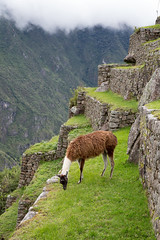 Machu Picchu - Llama on Terrace (cheryl strahl) Tags: peru southamerica inca ancient ruins cusco terraces andes machupicchu monuments archaeological sanctuary cultural ecosystems urubambavalley