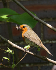 Catching Flies (Treflyn) Tags: robin severn upon upton