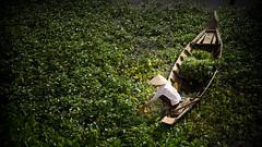 Havesting (freebird) Tags: sunlight rural countryside boat cambodia khmer village farm vegetable farmland vegetation farmer vignette minimalistic kangkong kampuchea waterspinach kampongchhnang ipomoeaaquatica