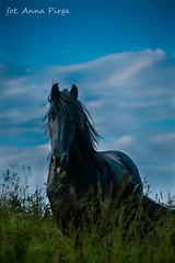 (Kajmakowa) Tags: horses horse black nikon equine friesian gelding