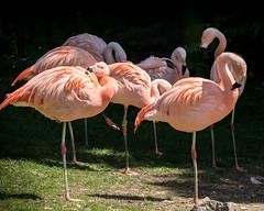 Flamingo (tony143) Tags: birds scotland edinburgh flamingo chileanflamingo edinburghzoo