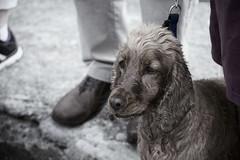 Dog (Edwina Boyce) Tags: ireland dogs nikon setter muted
