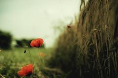 (trevis_lu) Tags: flowers red primavera countryside photo spring fiori rosso papaveri nikkor50mmf14 cxampagna nikondf