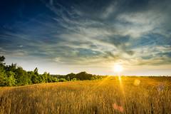 Sonnenuntergang ber dem Weizenfeld (fuechsel.michel) Tags: sunset sonnenuntergang spinne sonne weizenfeld samyang12mm roschwitz