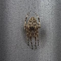Spider Billy (Bricheno) Tags: shadow macro scotland spider glasgow arachnid escocia szkocja schottland orbweaver scozia cosse dalmarnock  esccia   bricheno scoia