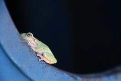 Green Tree Frog (Saline, Michigan) (cseeman) Tags: blue black green michigan frogs amphibians saline treefrogs greenandblue greentreefrogs
