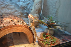The New Addition...Broly! (Smaird) Tags: bearded dragon reptile curious pets animals basking broly