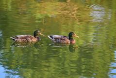 DSC_0018 (rachelle571) Tags: lake water reflections dam ducks ducklings mallard holmes