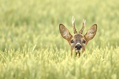 Ich seh dich (bobby3101985) Tags: roedeer bock roebuck weizenfeld rehbock rehwild